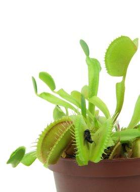 Carnivorous plant. Flytrap