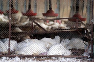 Birds Flu Outbreak