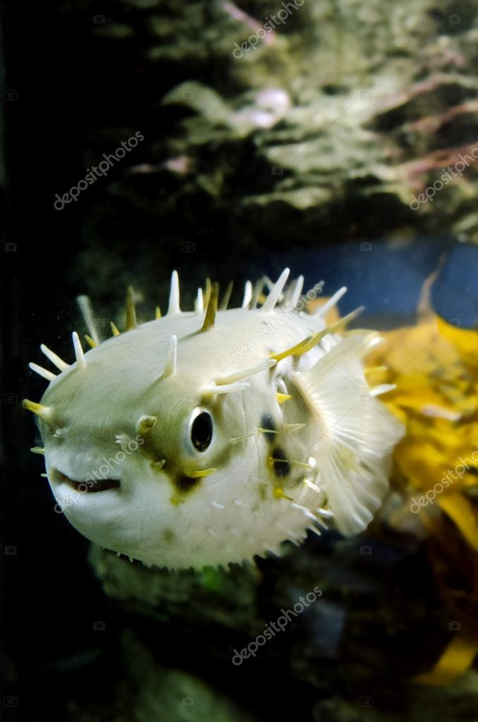 Blow Fish - Tetraodontidae