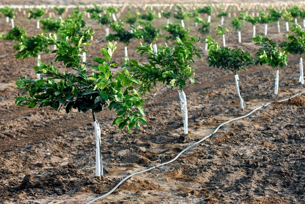 New orange seedlings