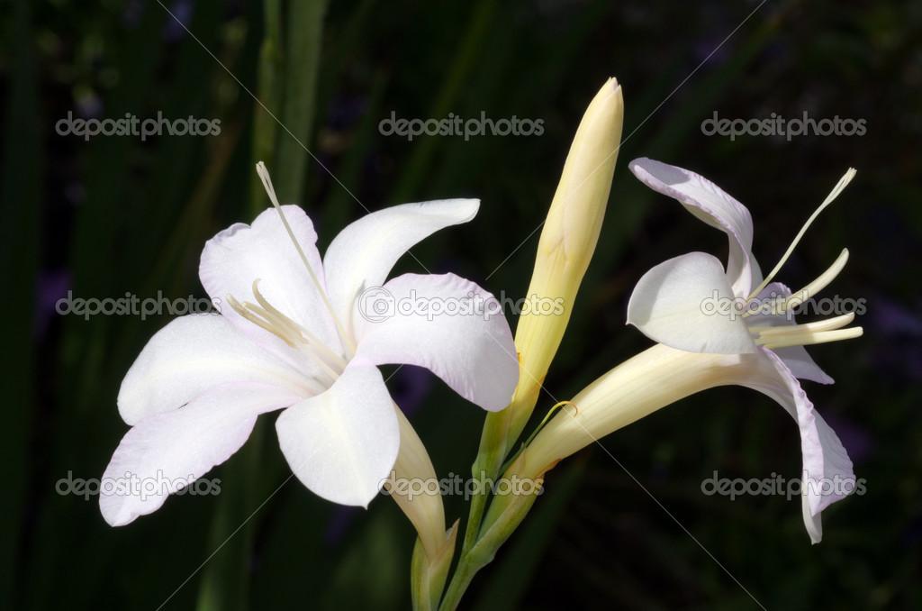 weiße Hosta Blume — Stockfoto © lucidwaters #34918141