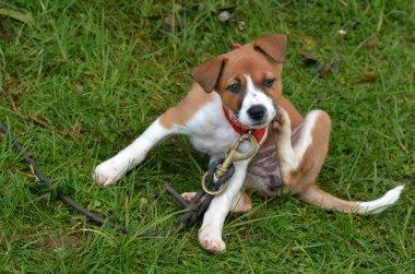 Puppy dog scratching