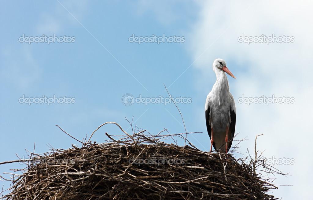 Single standing stork in her nest in spring season