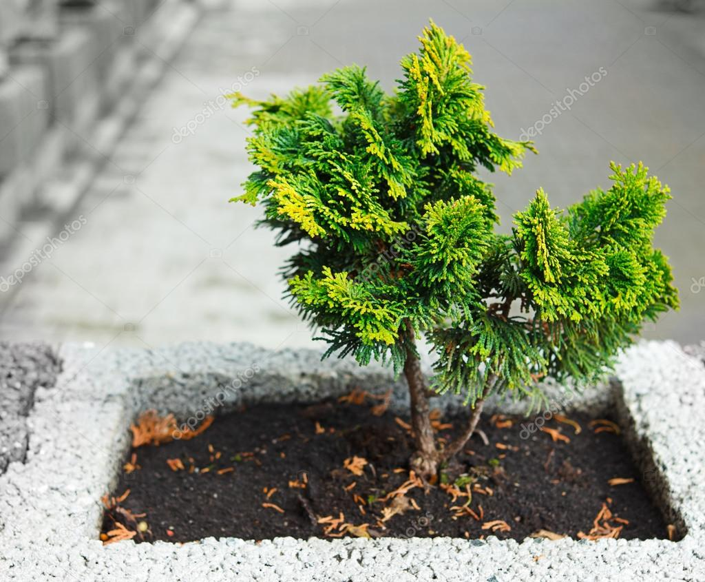 Young Thuja Occidentalis In A Flower Pot Or Jardiniere Stock Photo C Jaycriss 13557819