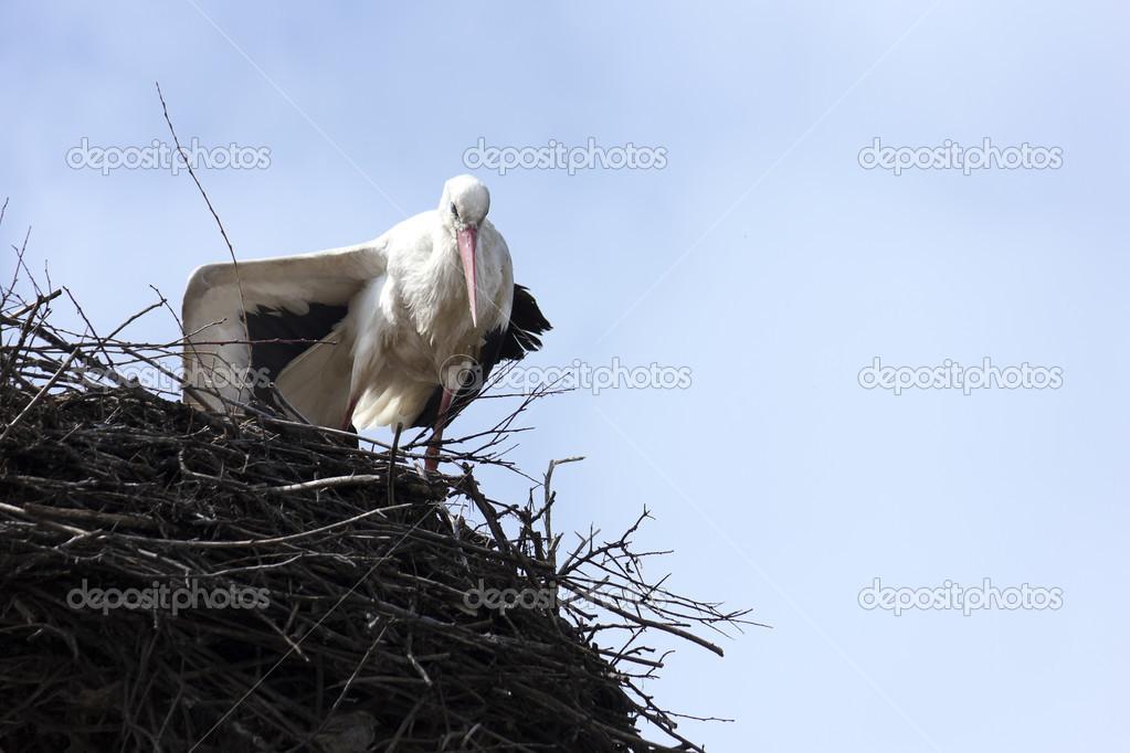 Standing stork in her nest in spring