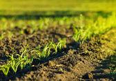 kukuřičné pole v hnědé půdě při západu slunce