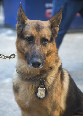 NYPD transit bureau K-9 German Shepherd providing security on Broadway during Super Bowl XLVIII week in Manhattan