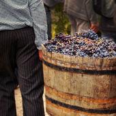 Fotografia raccolta uva