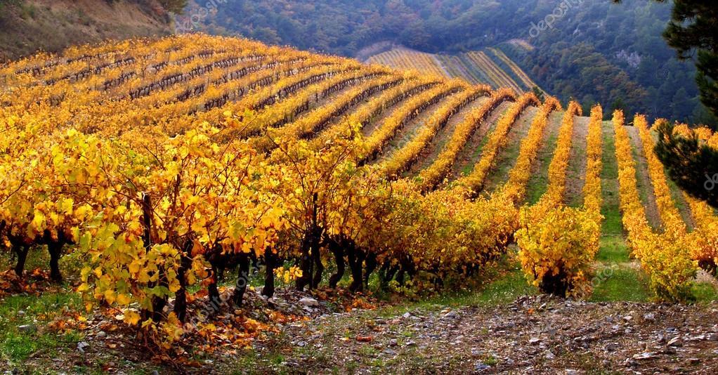 Vineyard Landscape in autumn