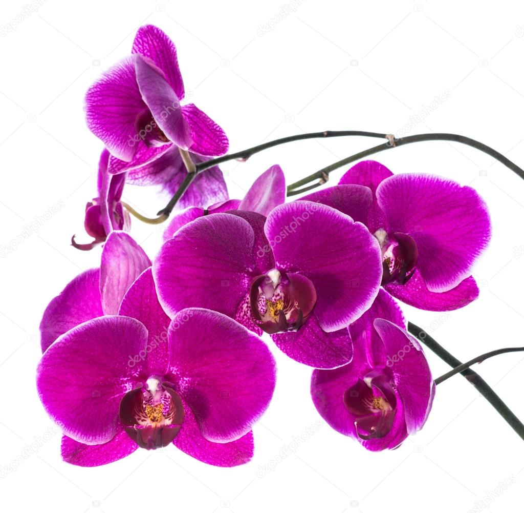 Blooming purple orchid isolated, background