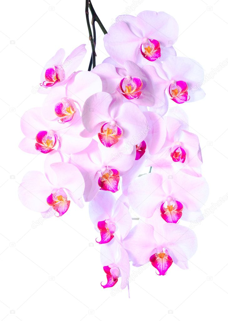 plentiful flowering of an pink orchid