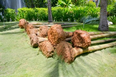 Palm trees for landing with roots lie in park, closeup