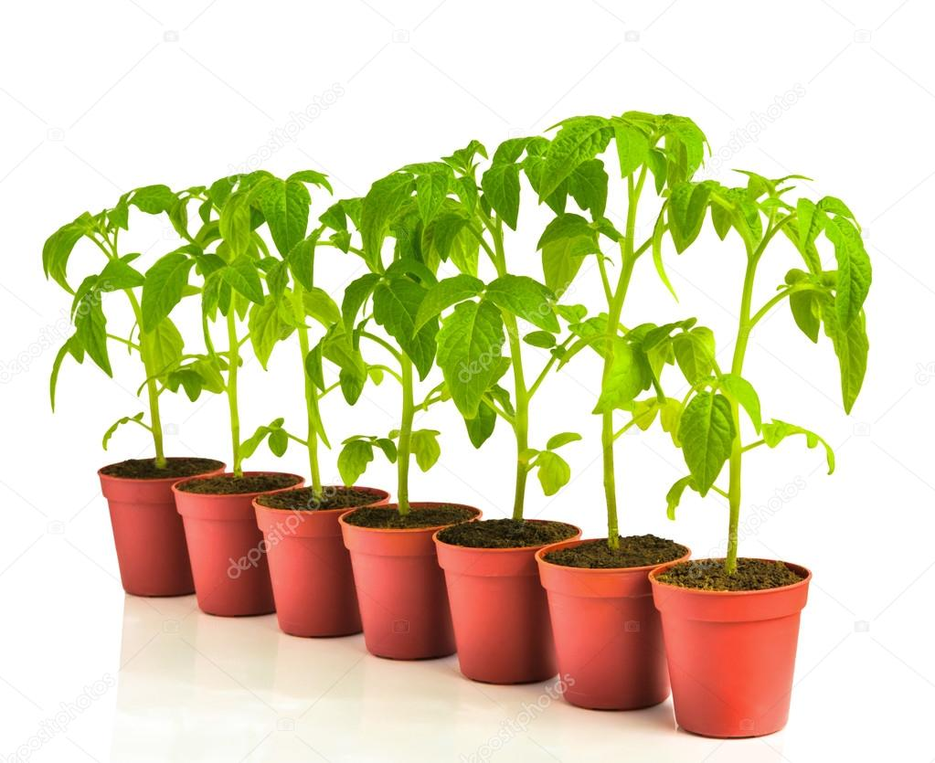 a row of seedling tomato in pots, isolated