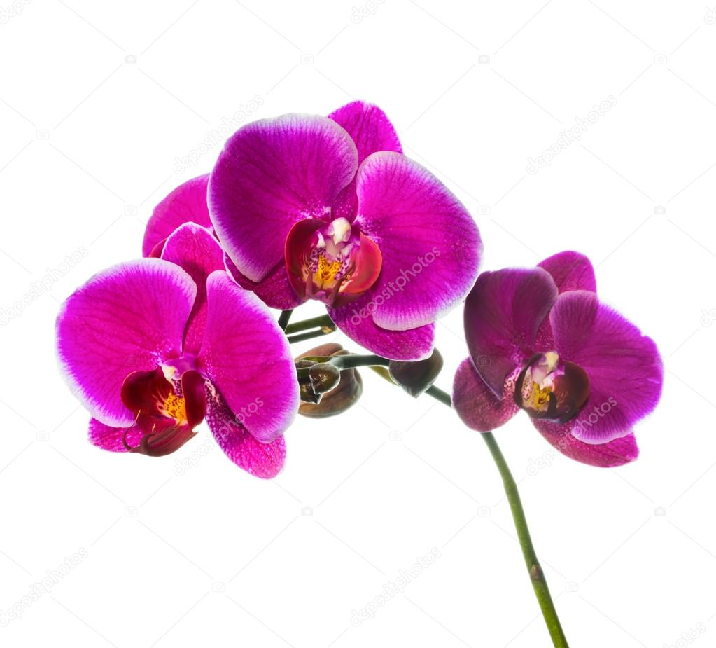 bl ht lila orchidee mit bandlet isoliert wei er hintergrund stockfoto a lisa 39667663. Black Bedroom Furniture Sets. Home Design Ideas