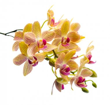 Blooming branch stripped orange orchid, phalaenopsis is isolated