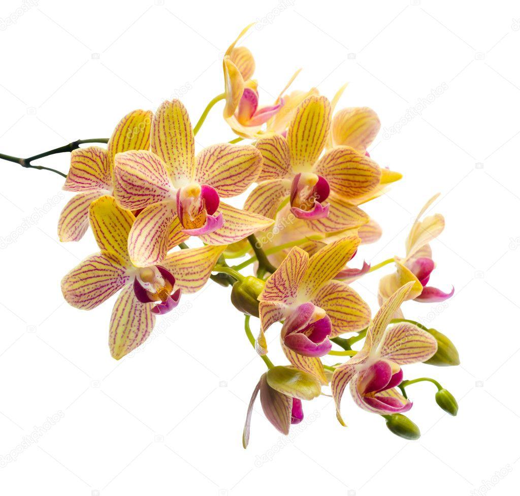 Ramo fiorito spogliato orchidea arancio phalaenopsis for Orchidea prezzo