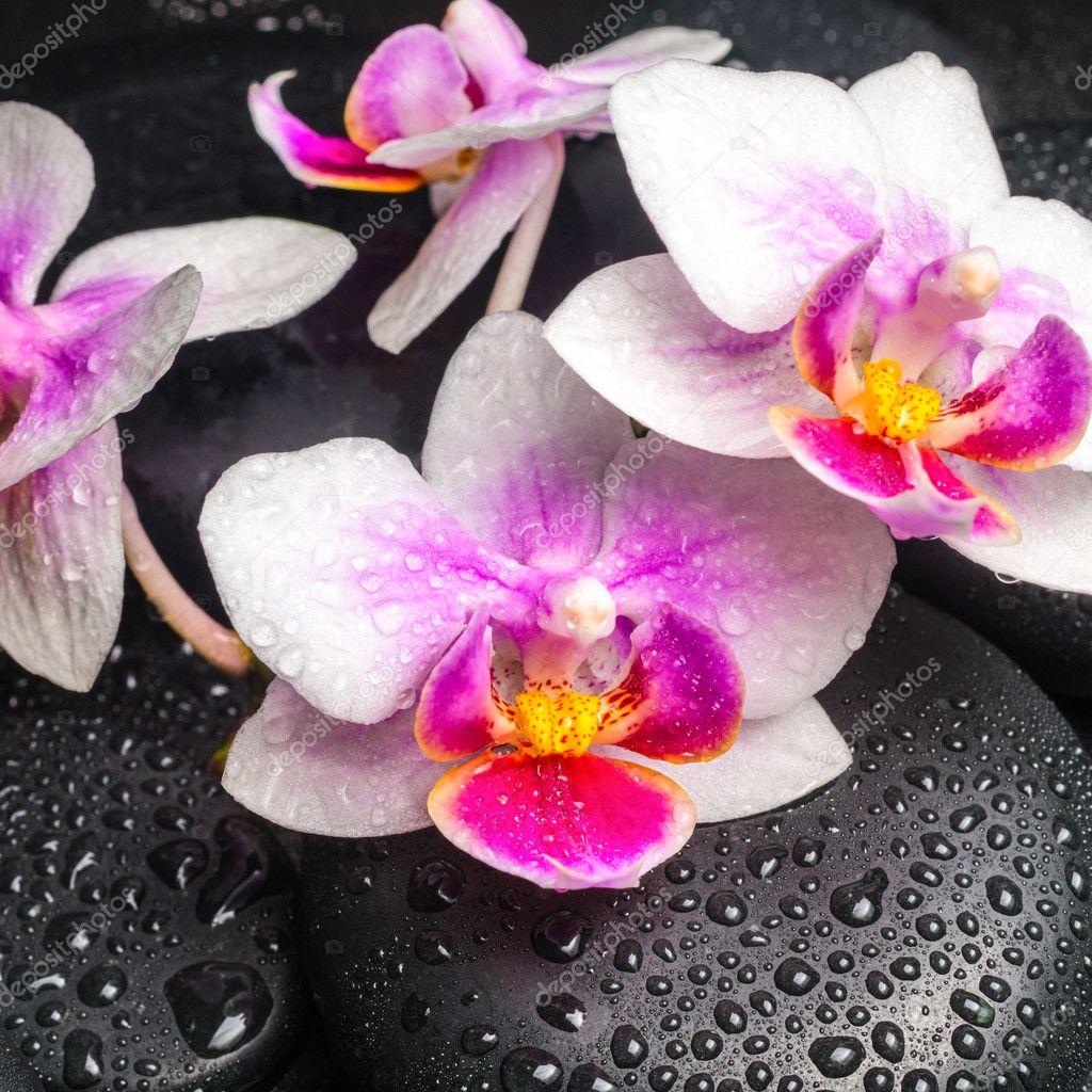 Concetto di spa con rosa con pietre zen e fiore orchidee for Concetto aperto di piani coloniali