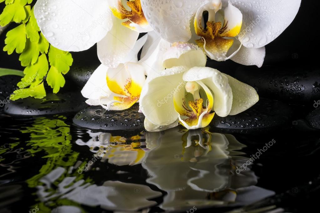 orchidee blanche et verte