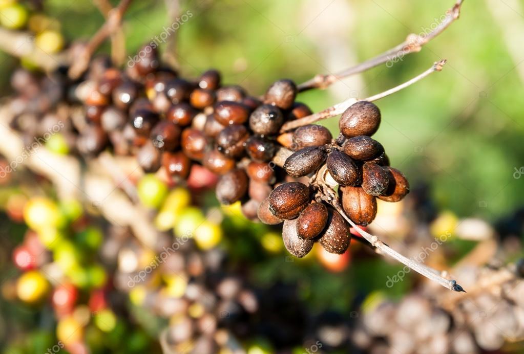 Coffee beans on coffee tree — Stock Photo © Tomnamon #19783977