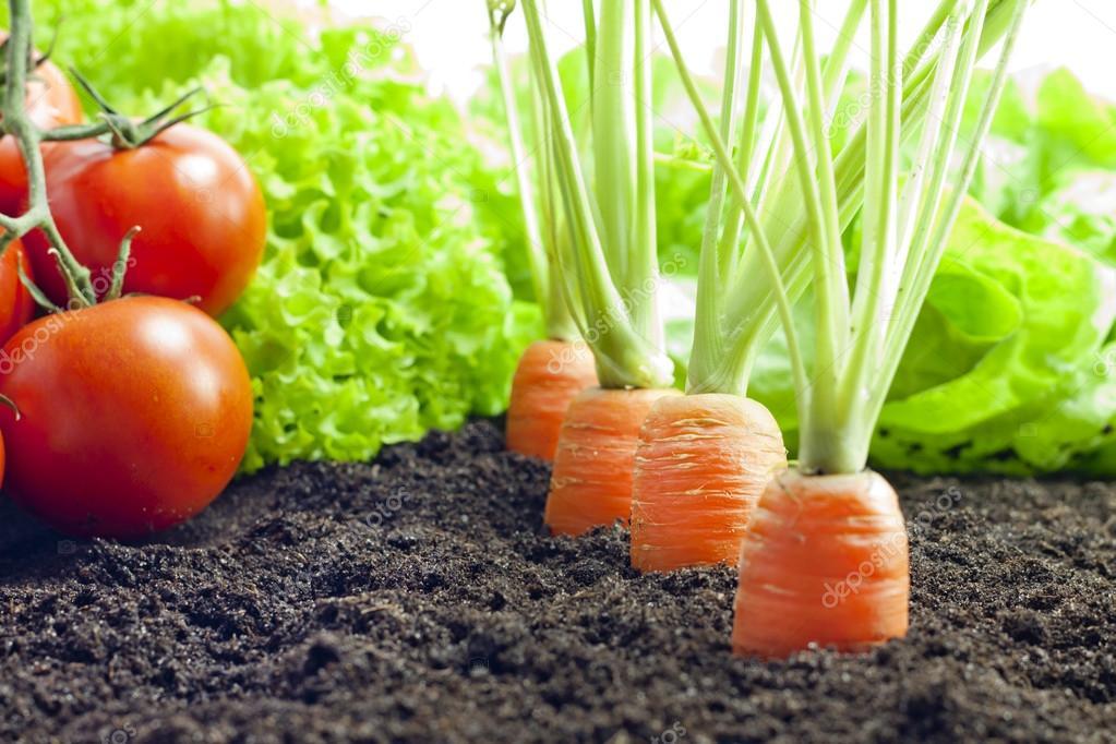 L gumes carottes et les tomates qui poussent dans le for Le jardin qui bouge
