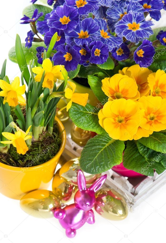 Primule E Narcisi In Vaso Su Sfondo Bianco U2014 Foto Stock