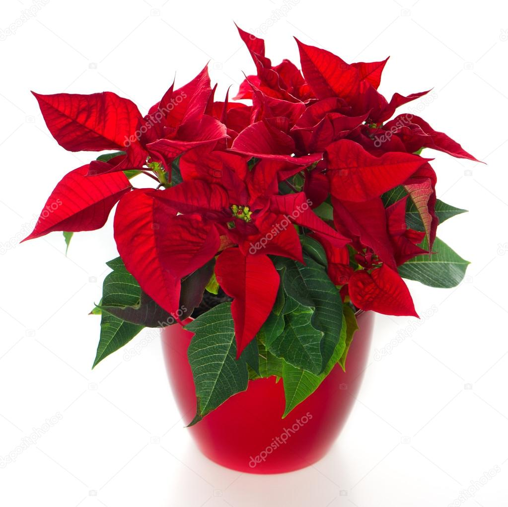 red christmas flower poinsettia u2014 stock photo liligraphie 13406290