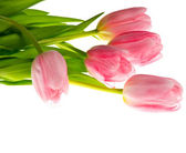 Close-up of pink tulips on a white background. Beautiful bouquet