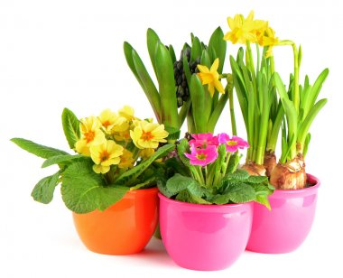 Colorful spring flowers in pots