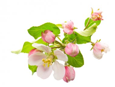 apple tree flowers. spring blossoms