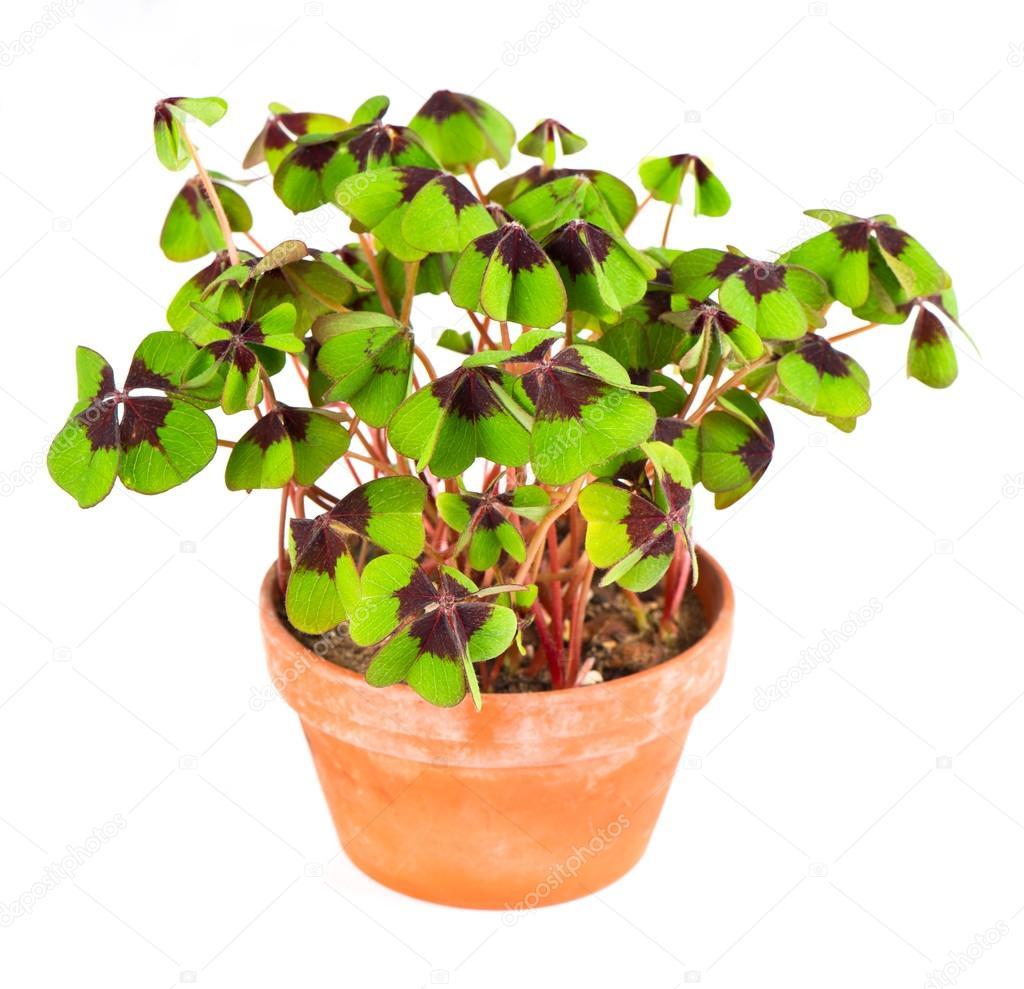 Pot avec la plante tr fle quatre feuilles photographie for Plante 9 feuilles