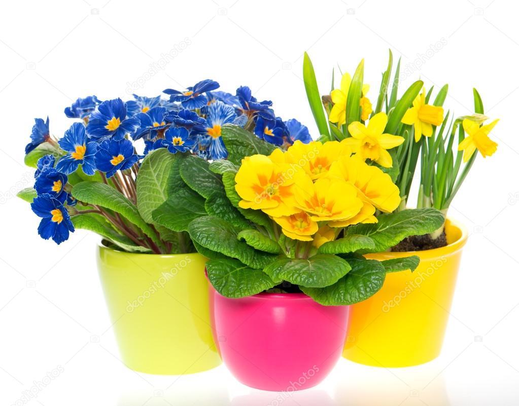 Flores de primavera en macetas coloridas en blanco foto for Fotos de plantas en macetas