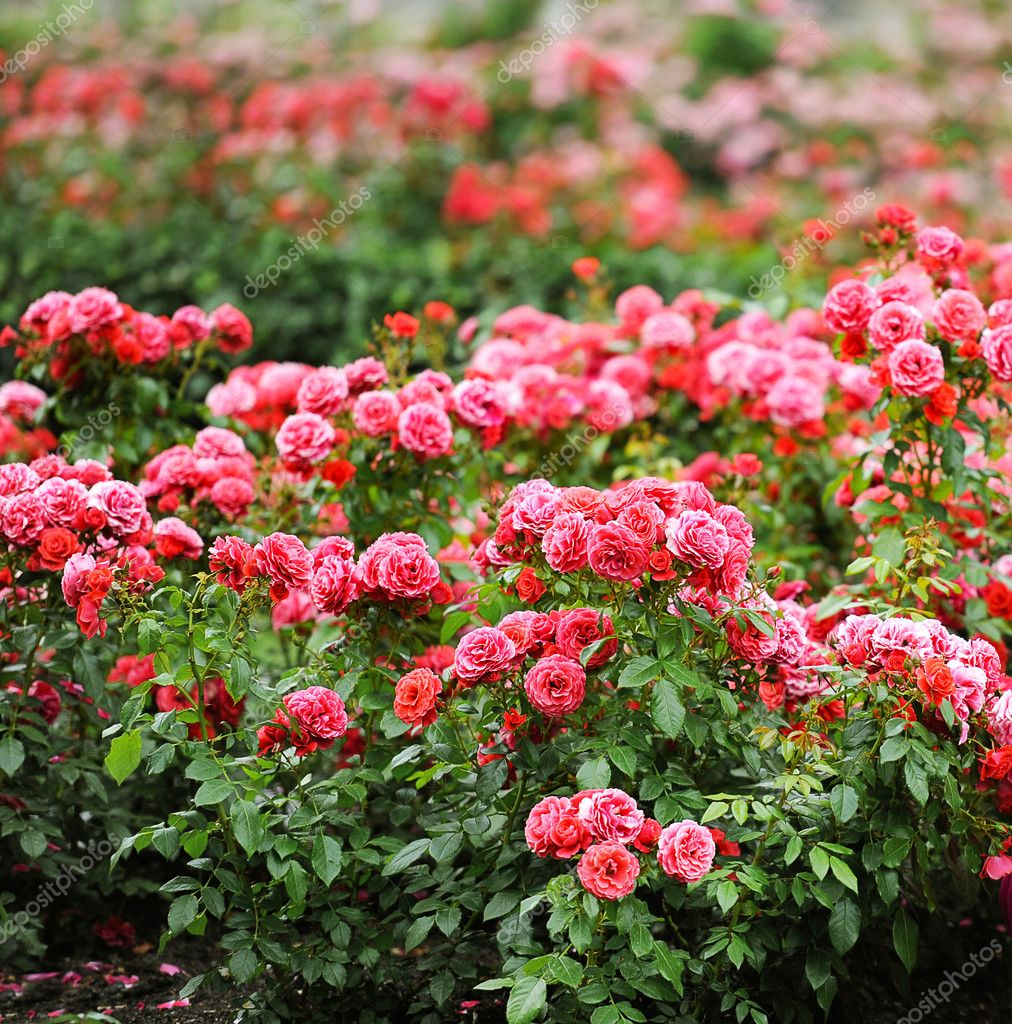 Beautiful roses garden