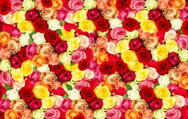 assorted roses. colorful flower field