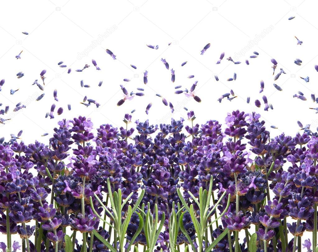 Fresh lavender flowers on white
