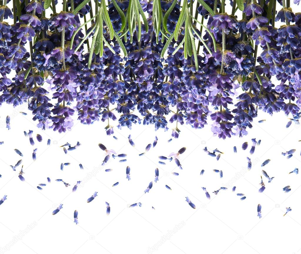 Bunch of fresh lavender flowers on white