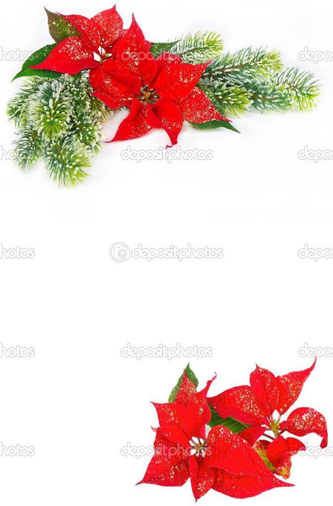 Festliche Hintergrund mit Weihnachten Blume Weihnachtsstern ...