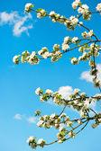 virágzó Alma-fa alatt kék ég háttér