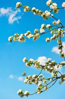 Blossoming apple tree over blue sky background stock vector