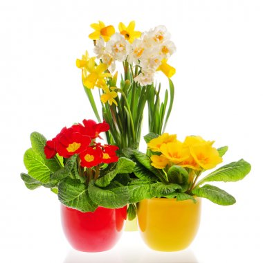 Colorful spring primulas and narcissus in pots