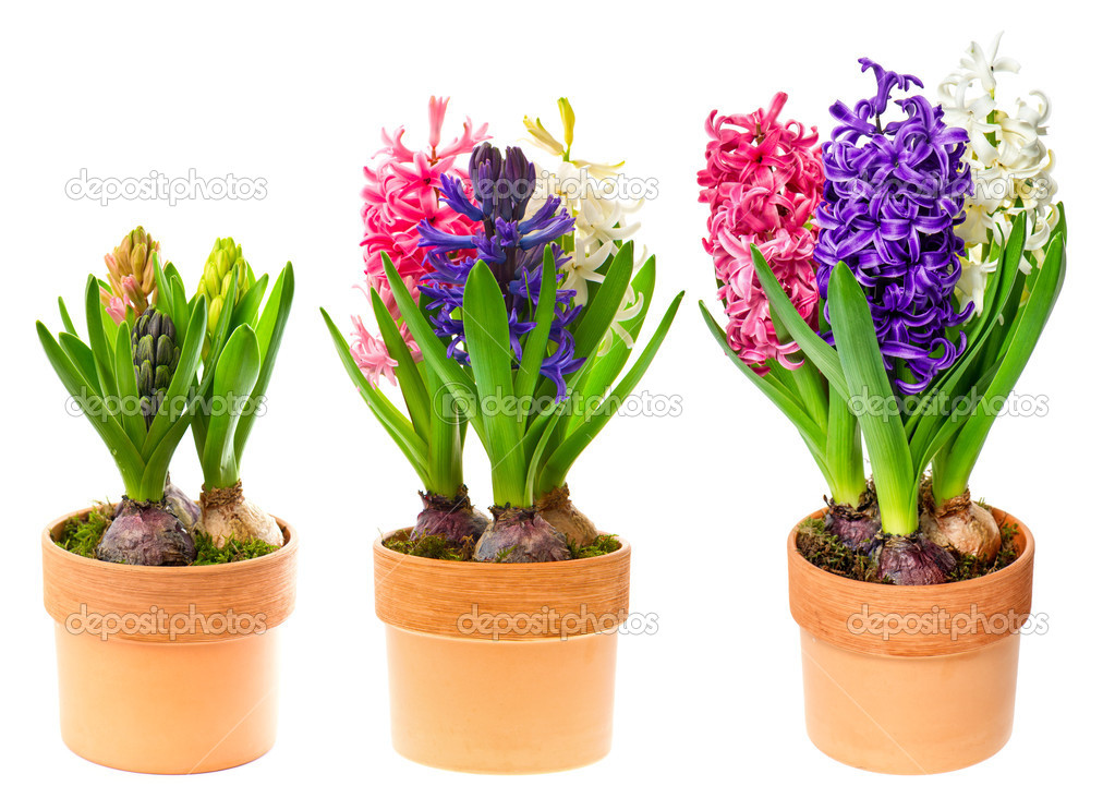 fleurs fra ches de jacinthe en pot sur blanc photographie liligraphie 21838627. Black Bedroom Furniture Sets. Home Design Ideas