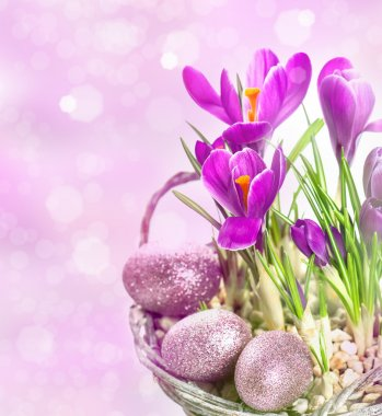 crocus flowers over blurred background