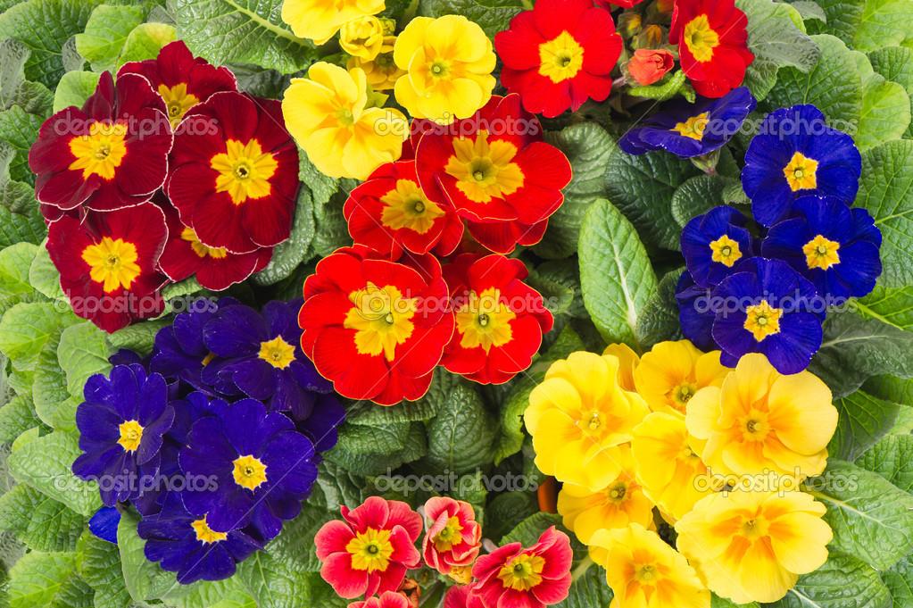 Primule colorate primavera fresca di fiore letto foto for Primule immagini