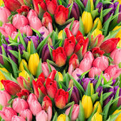 Fotografie fresh spring tulip flowers with water drops