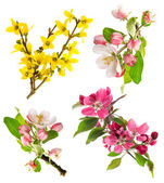 Photo blossoms of apple tree, cherry twig, forsythia