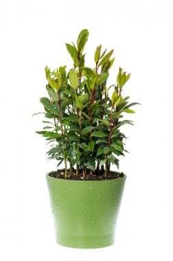 bay laurel plant in pot on white background