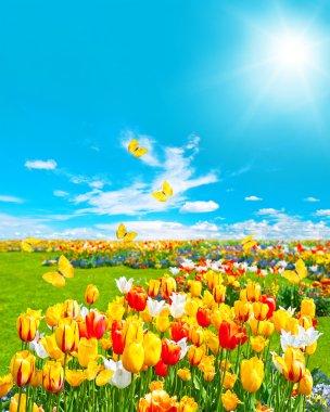 Tulip flowers in green grass. sunny blue sky