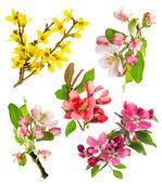 Photo closeup blossoms apple tree, cherry twig, forsythia