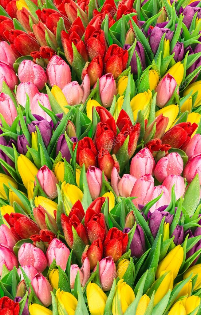 tulips. fresh spring flowers with water drops