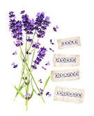 frische Lavendelblüten mit Papieranhängern isoliert auf weiß