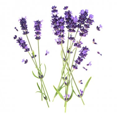 lavender flowers isolated on white background